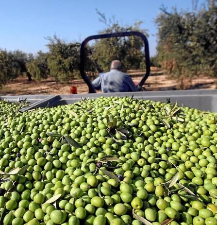 Sevilia: Trei români au sustras 46 de tone de măsline