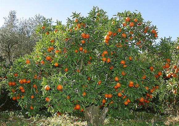 Afacere profitabilă! Vindeau portocale furate de pe plantațiile din Valencia