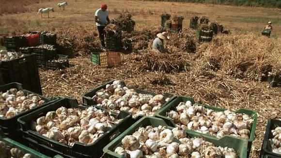 Români exploatați pe o plantație de usturoi din Spania