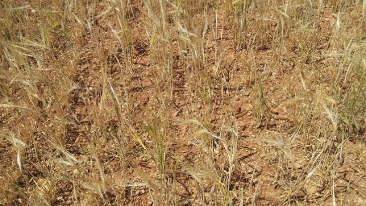 Spania. Producția de cereale, grav afectată. Cel mai scăzut nivel din ultimii 20 de ani