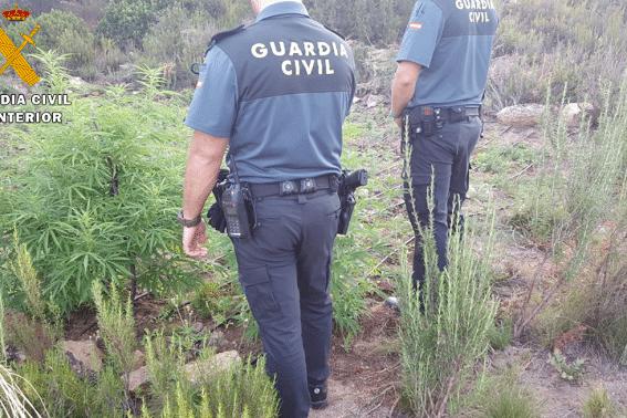 VIDEO. Spania. Cinci români cultivau MARIJUANA pe câmp, ca pe porumb